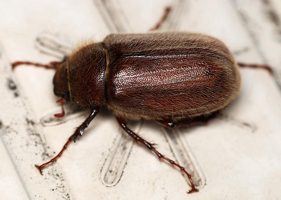 may beetle - Phyllophaga crenulata
