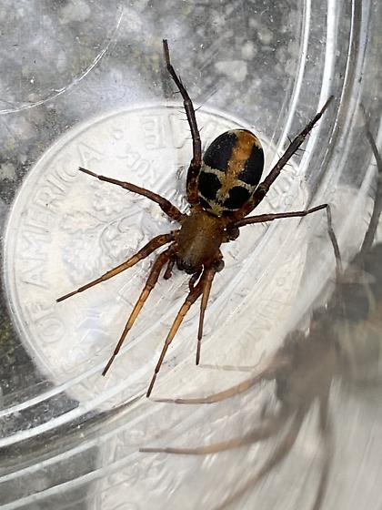 California spider - Castianeira