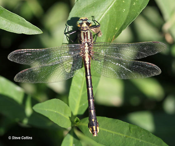 Handsome Clubtail - Gomphurus crassus - female