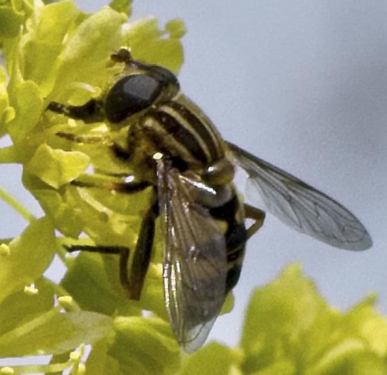Helophilus fly? - Helophilus fasciatus
