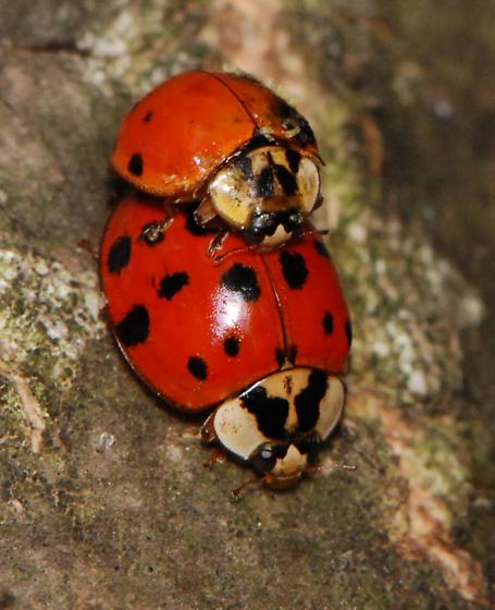 Lady Beetle (male has fungus) - Harmonia axyridis - male - female