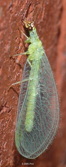 What kind of Lacewing? - Chrysopa oculata
