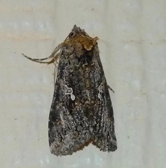 Cabbage Looper Moth - Trichoplusia ni