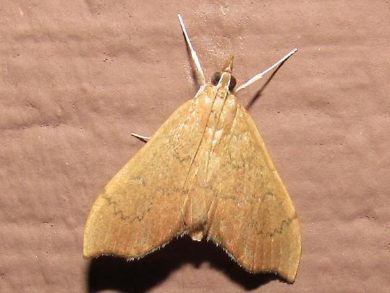 Sericoplaga externalis? (moth) - Sericoplaga externalis
