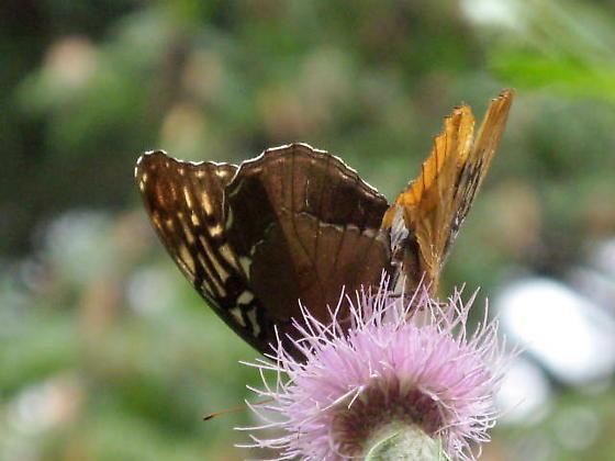 Dianas, male and female - together - Speyeria diana - male - female
