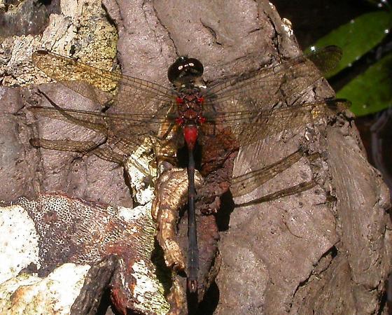Blackburn's Skimmer (Nesogonia blackburni) - male