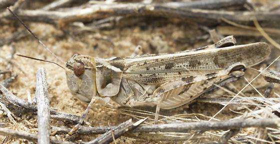 grasshopper - Aulocara elliotti? - Aulocara elliotti