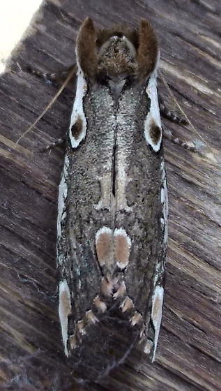 Depranidae: Euthyatira pudens? - Euthyatira pudens