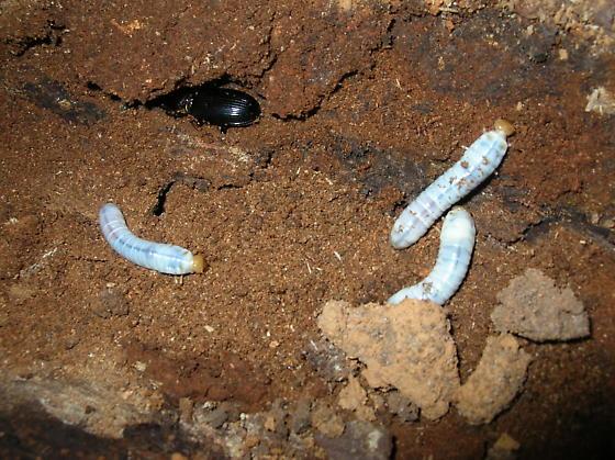 Horned Passalus with larvae - Odontotaenius disjunctus
