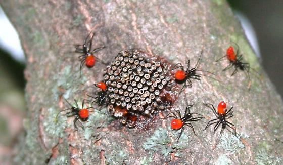 Red Things - Arilus cristatus