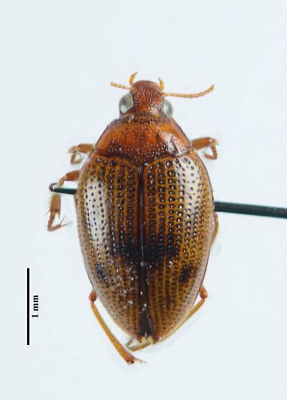 Haliplus dorsomaculatus?