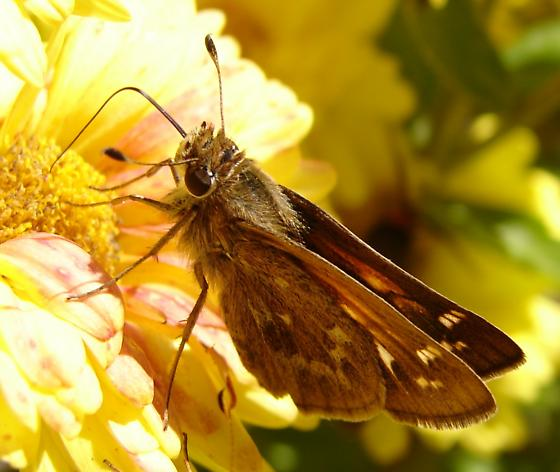 Sachem Skipper - female - Atalopedes campestris - female