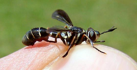 Conopids - Physoconops brachyrhynchus - male
