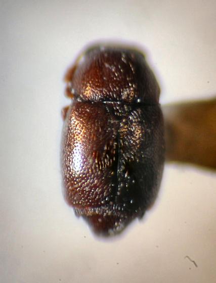 Little Round Beetle - LRB