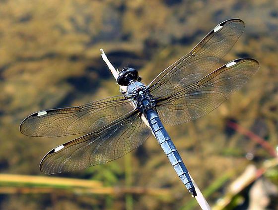 Spangled Skimmer - Libellula cyanea - male