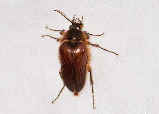 Unknown beetle - Scaptolenus