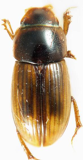 Aphodius - Aphodius pseudolividus