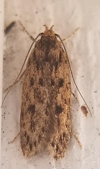 Moth by garage - Hofmannophila pseudospretella