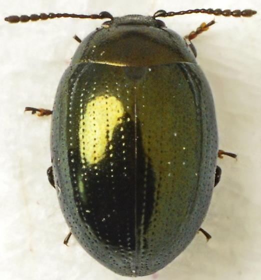 Phaedon viridis