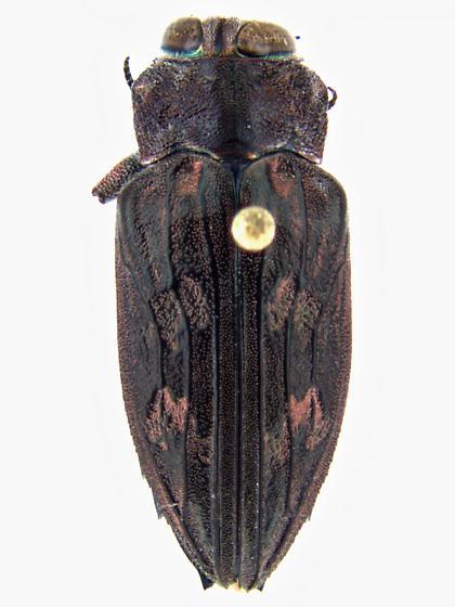 Chrysobothris merkelii Horn - Chrysobothris merkelii - female