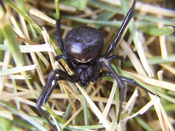 Southwestern Black Widow (Latrodectus hesperus) - Latrodectus hesperus - female