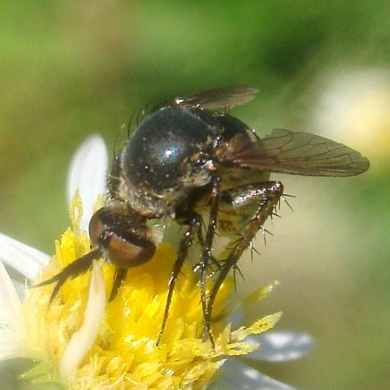 Bee Fly on frost aster - Toxophora amphitea