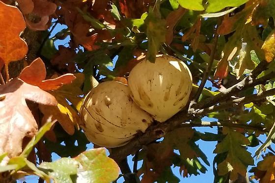 Oak Galls - Andricus quercuscalifornicus