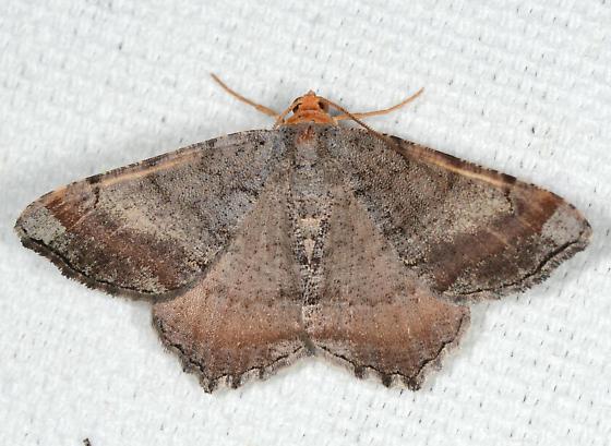 Macaria distribuaria - Southern Coastal Plain Angle Moth - Macaria distribuaria