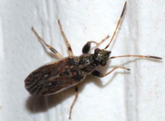 ? - Pseudopachybrachius basalis