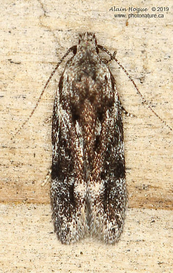 Carpatolechia  - Carpatolechia fugitivella