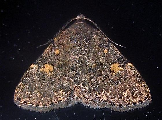 Common Idia - Hodges #8323 (Idia aemula) - Idia aemula