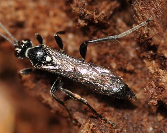Wasp - Ichneumon mendax - female