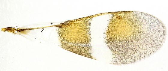 Anastatus semiflavidus? - Anastatus semiflavidus - female