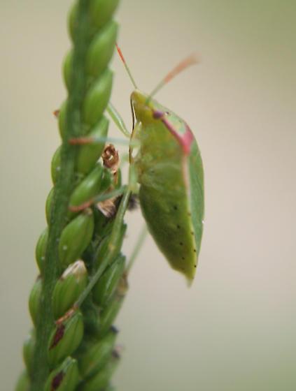 Leaf footed bug?? - Thyanta custator