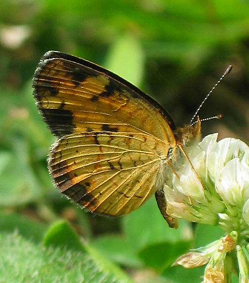 Pearl Crescent - Phyciodes tharos - female
