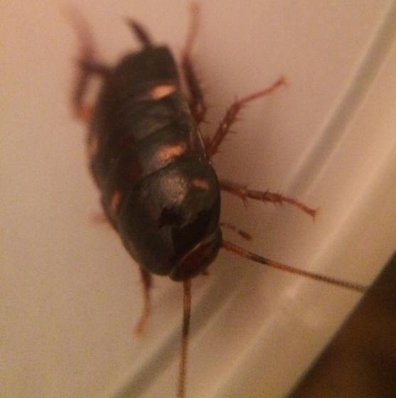 Fast roach nymph - Periplaneta australasiae