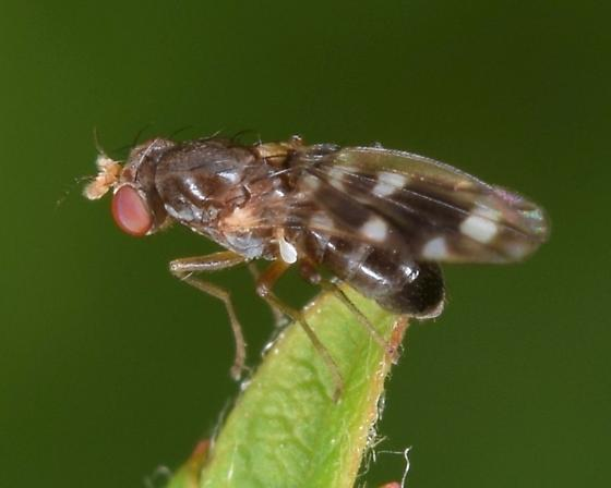 spotty wing - Diastata