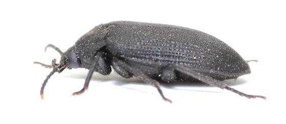Beetle found under bark of dead Quercus stellata - Penthe pimelia