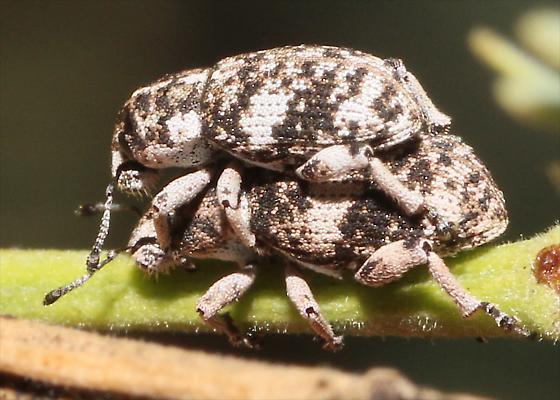 Weevil on Mesquite - Colecerus dispar - male - female
