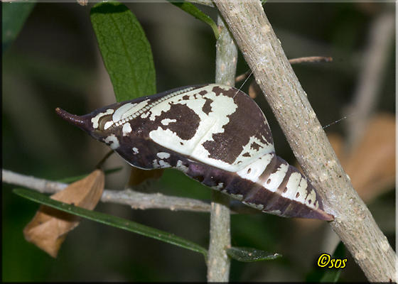 Moth or Butterfly - Phoebis agarithe