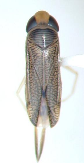 Trichocorixa - Trichocorixa calva - male