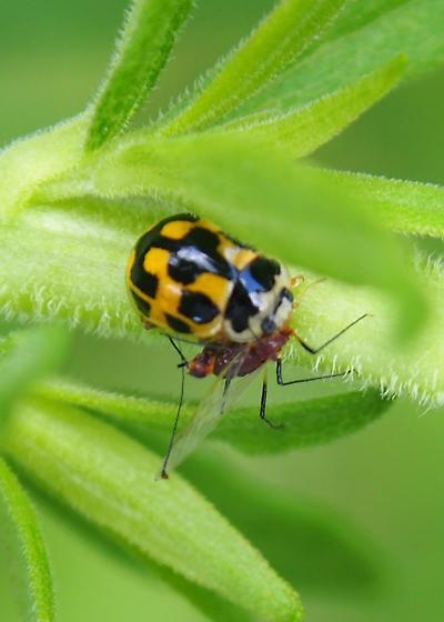 Hippodamia? Coccinelidae - Propylea quatuordecimpunctata