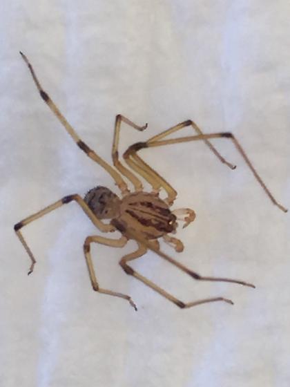 Pillow hider  - Scytodes lugubris - male