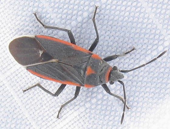 red/charcoal bug - Melacoryphus lateralis