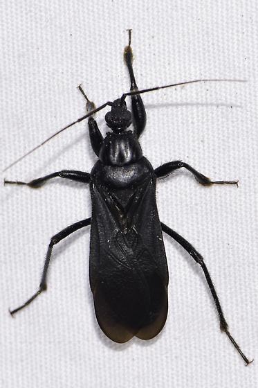 Melanolestes picipes - Black Corsair - Melanolestes picipes