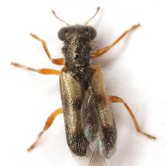 Phyllobaenus arizonicus (Schaeffer) - Phyllobaenus arizonicus