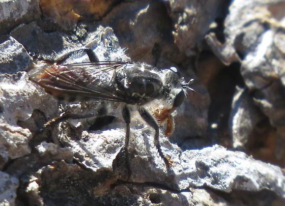 Robber fly - Andrenosoma fulvicaudum