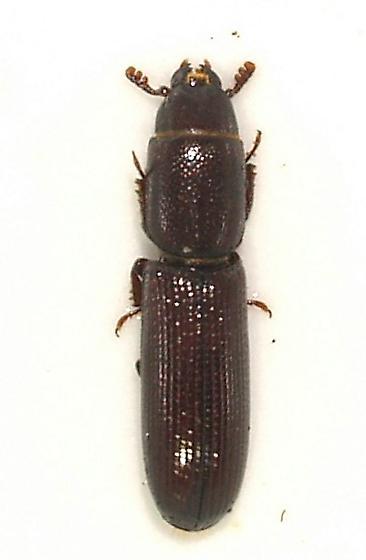 little Trogossitid - Airora aequalis