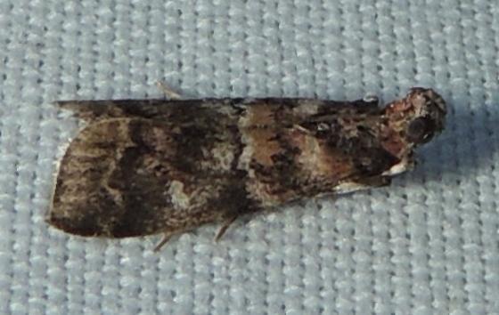 Dioryctria pygmaeella