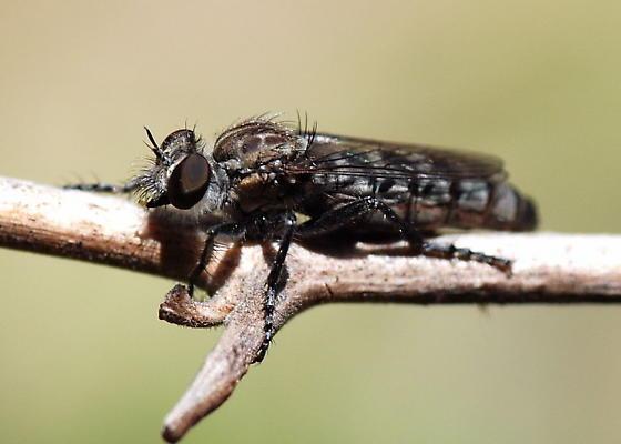 Ablautus? on Twig - Nannocyrtopogon vanduzeei - female